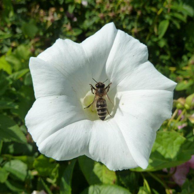 Zaunwinde (Calystegia sepium)