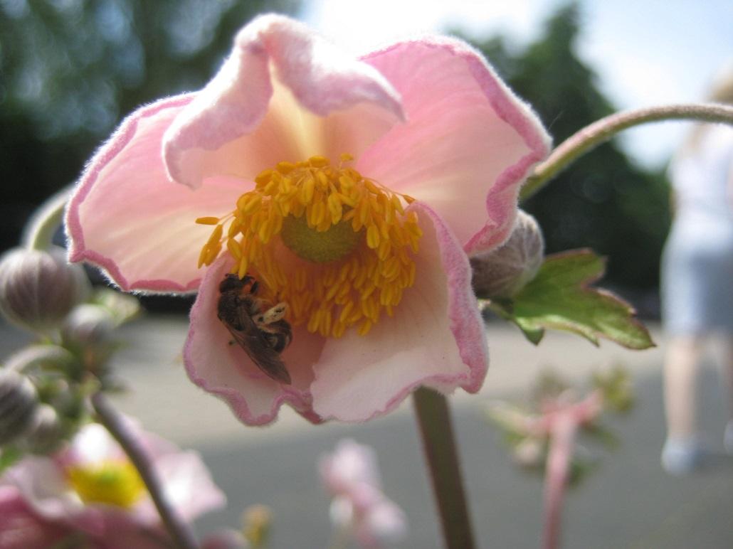 Sandbiene in Anemonenblüte (Windröschen)