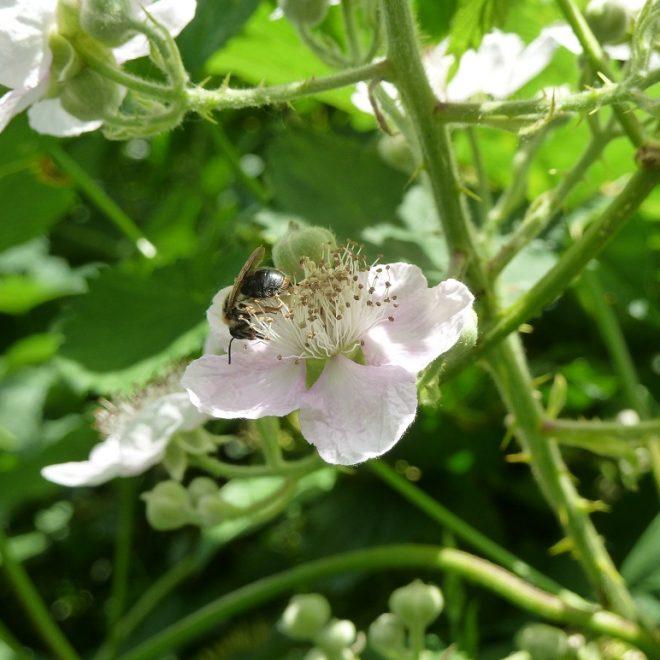 Wildbiene in Brombeerblüte (Rubus fruticosus)