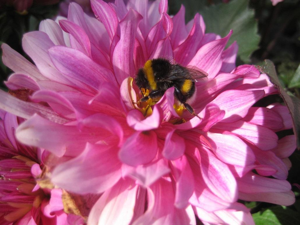 Ungefüllte rosa Dahlienblüte mit Erdhummel (Dahlia-Hybriden)