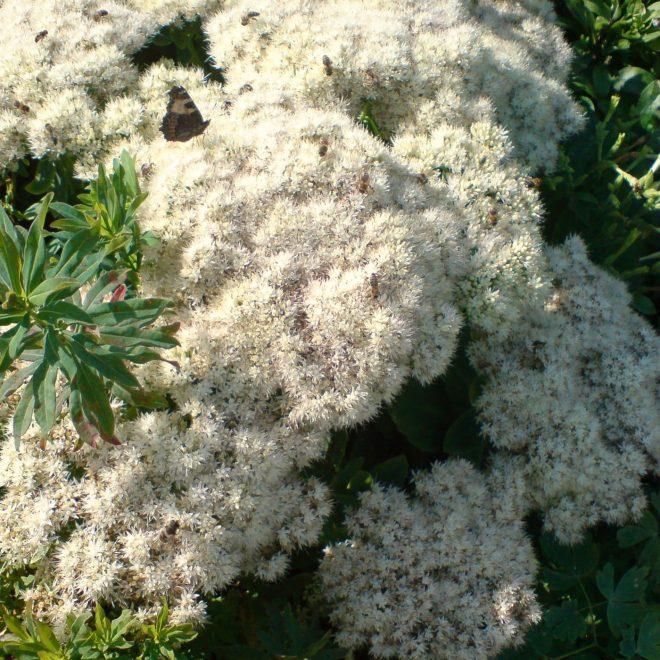 Fette Henne mit vielen Honigbienen (Sedum telephium)