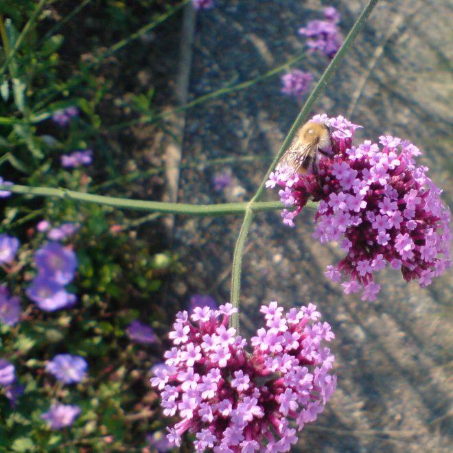 Ackerhummel auf Eisenkraut (Verbena officinalis)