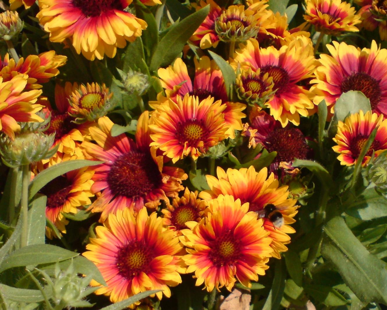 Kokardenblume mit Erdhummel (Gaillardia)