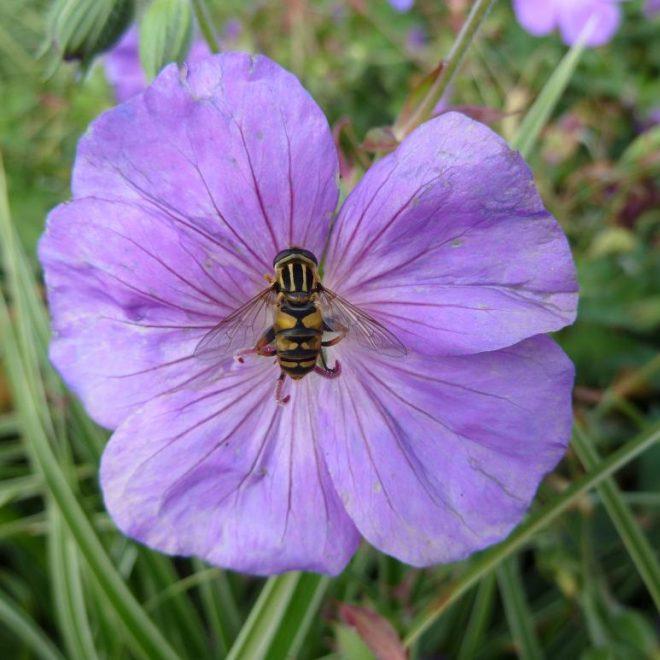 Gemeine Sumpfschwebfliege(Helophilus pendulus)