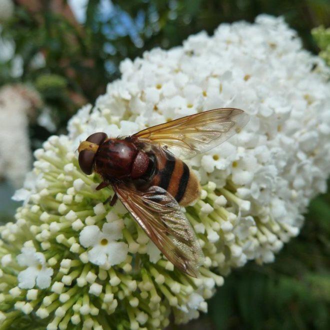 Hornissenschwebfliege auf Schmetterlingsbusch (Volucella zonaria