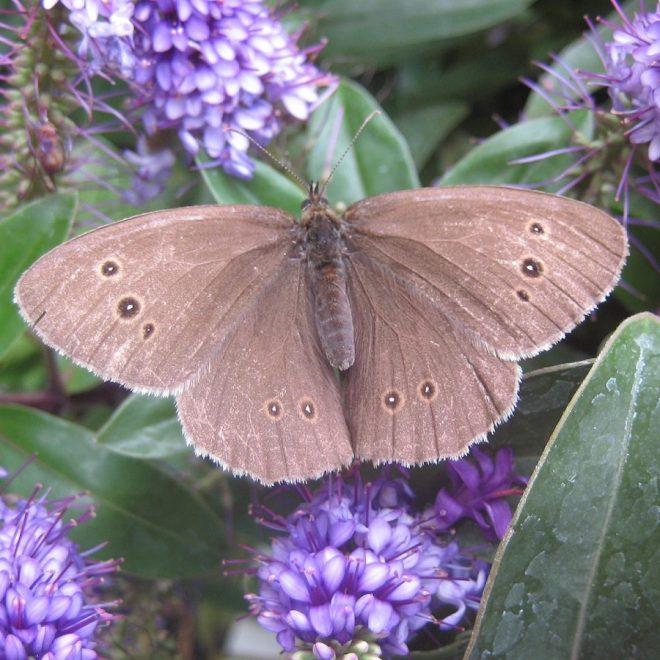 Schmetterling Brauner Waldvogel auf Strauchveronika