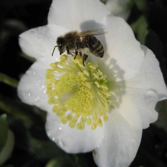 Honigbiene in Christrosenblüte (Helleborus niger)