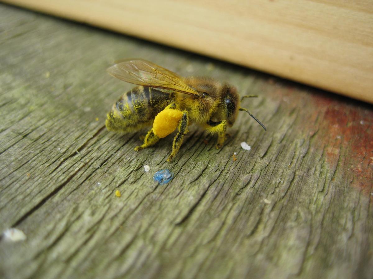 Honigbiene mit gelben Pollen