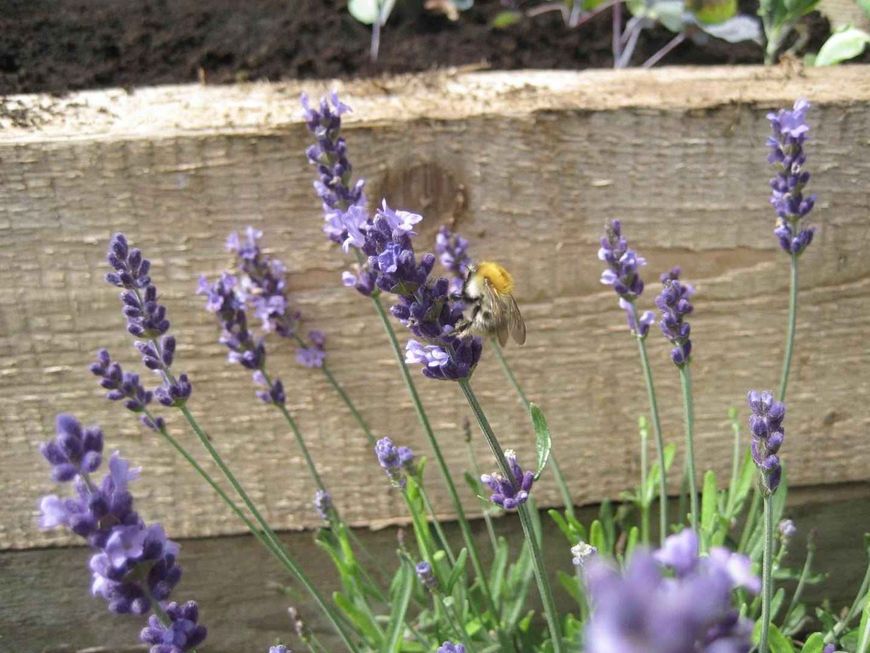 Lavendelpflanze mit Ackerhummel (Lavandula angustifolia)