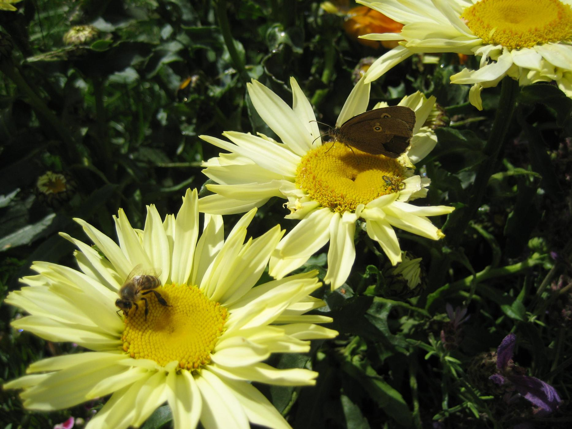 gelbe Chrysantheme mit Honigbiene und Falter (Chrysanthemum)