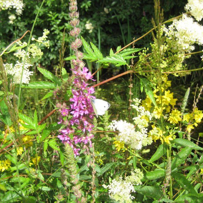 Schmetterling auf Blutweiderich (Lythrum salicaria)