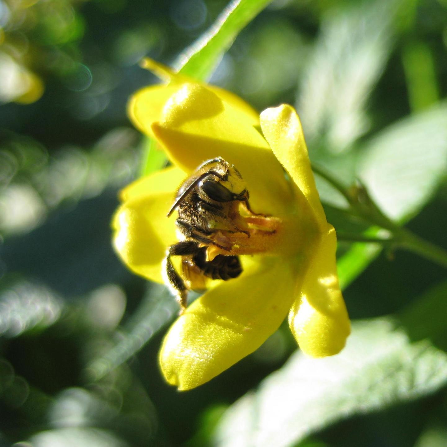 Schenkelbiene auf Gilbweiderich