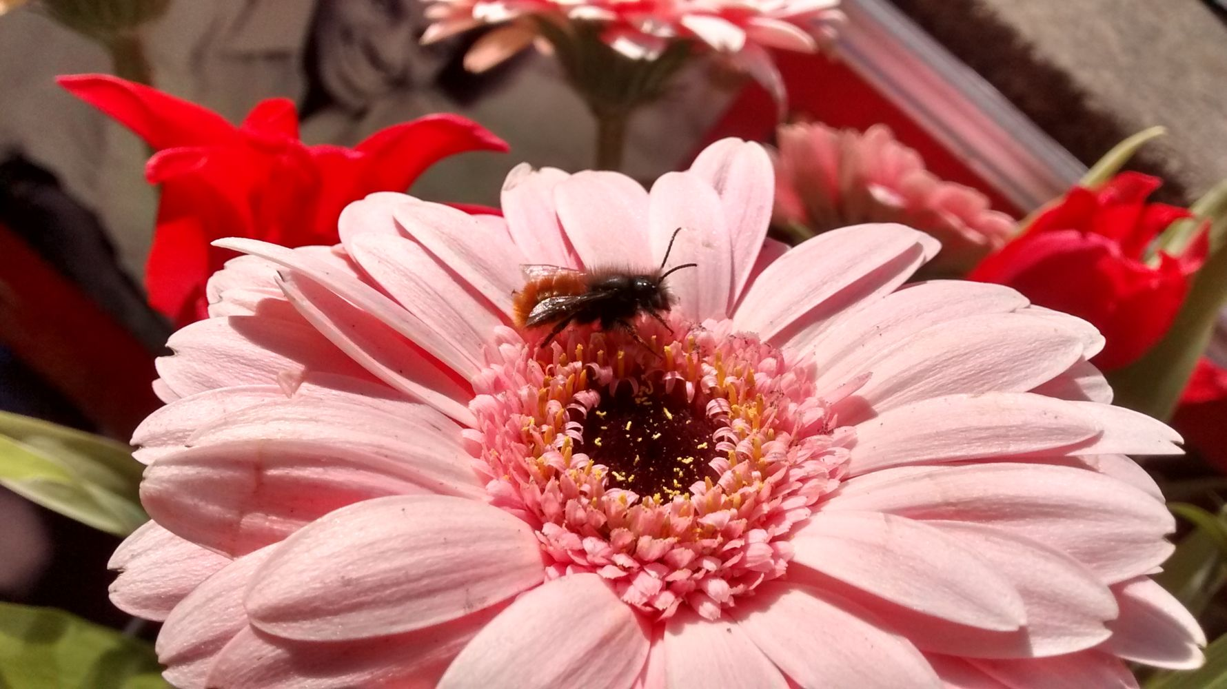 Mauerbiene auf rosa Gerbera