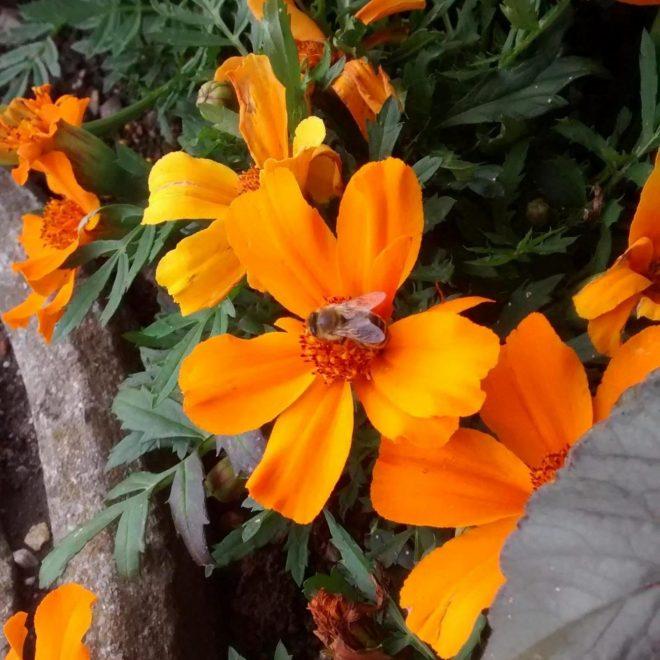 orange Tagetes mit Honigbiene (Tagetes tenuifolia)