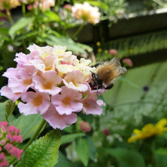 Ackerhummel auf rosa Lantanablüte (Lantana camara)