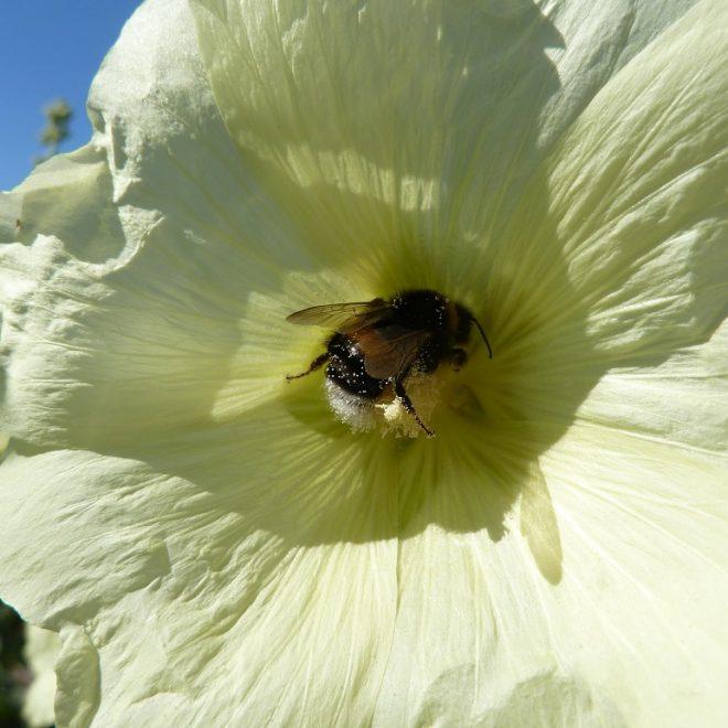 Erdhummel in weißer Malvenblüte (Malvaceae)
