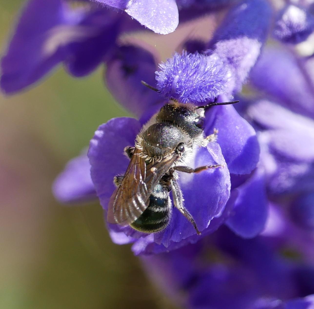 weibliche Stahlblaue Mauerbiene