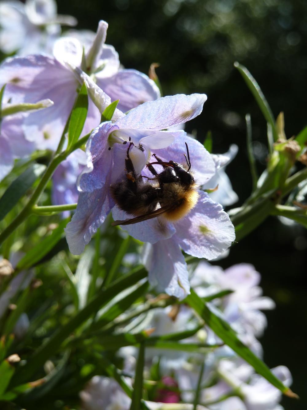 Ackerhummel in Campanula-Blüte (Glockenblüte)