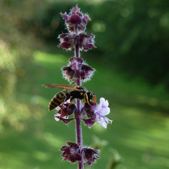 Wespe auf Basilikum