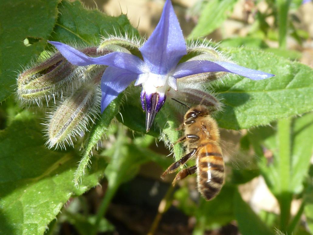 Honigbiene fliegt Borretschblüte an (Borago officinalis)