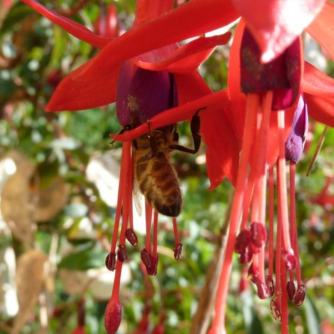 Honigbiene in Fuchsiablüte (Fuchsia)