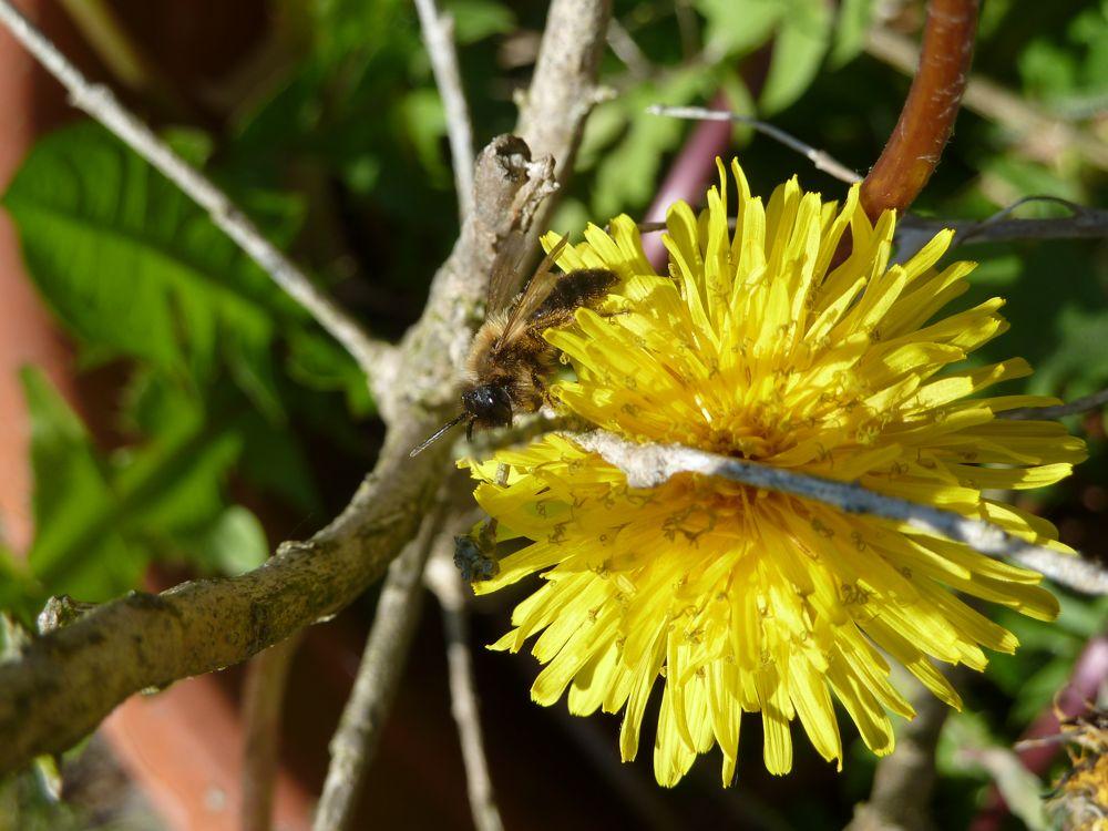 Sandbiene Andrena apicata auf Löwenzahnblüte