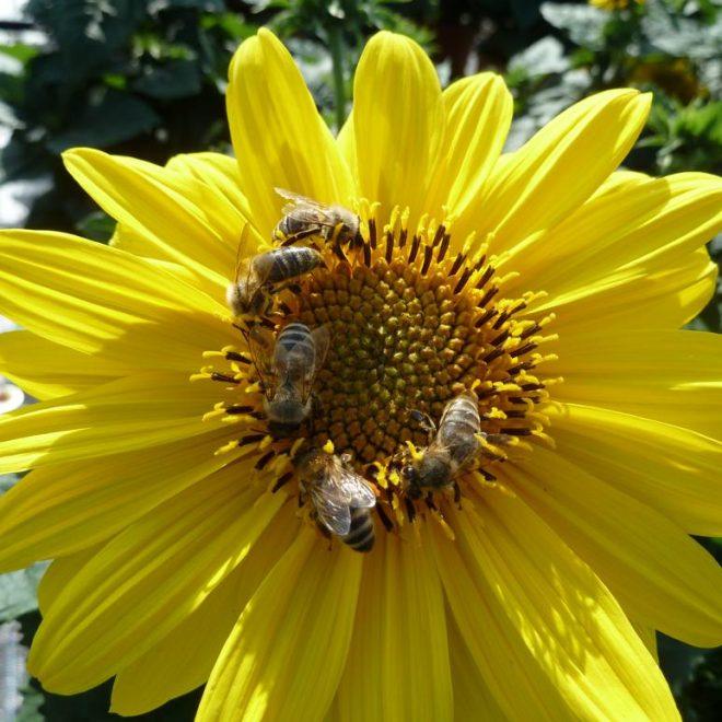 Fünf Honigbienen auf Sonnenblume (Helianthus annuus)