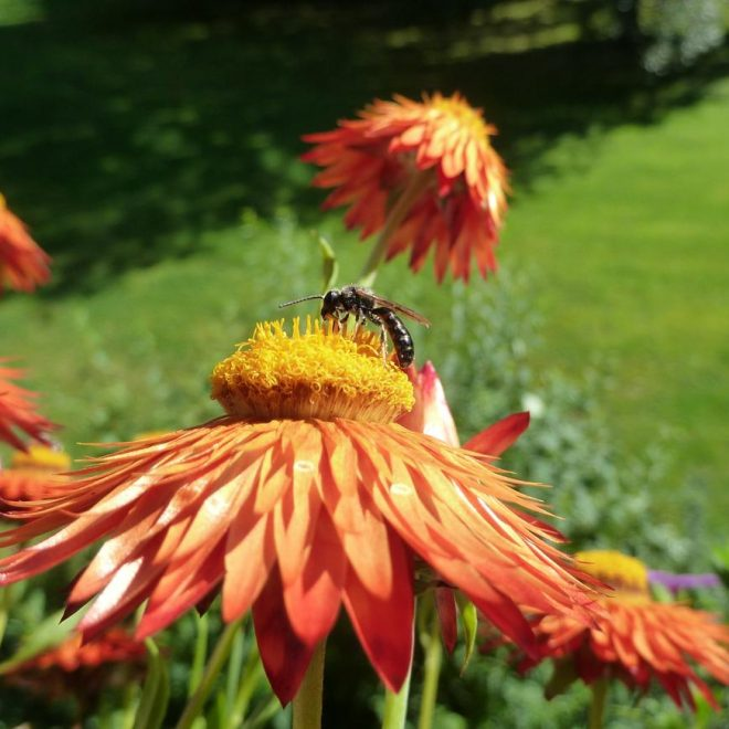 Löcherbiene auf Strohblume