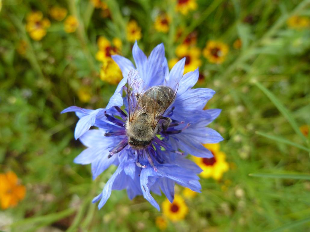 Biene auf Kornblume (Centaurea cyanus)