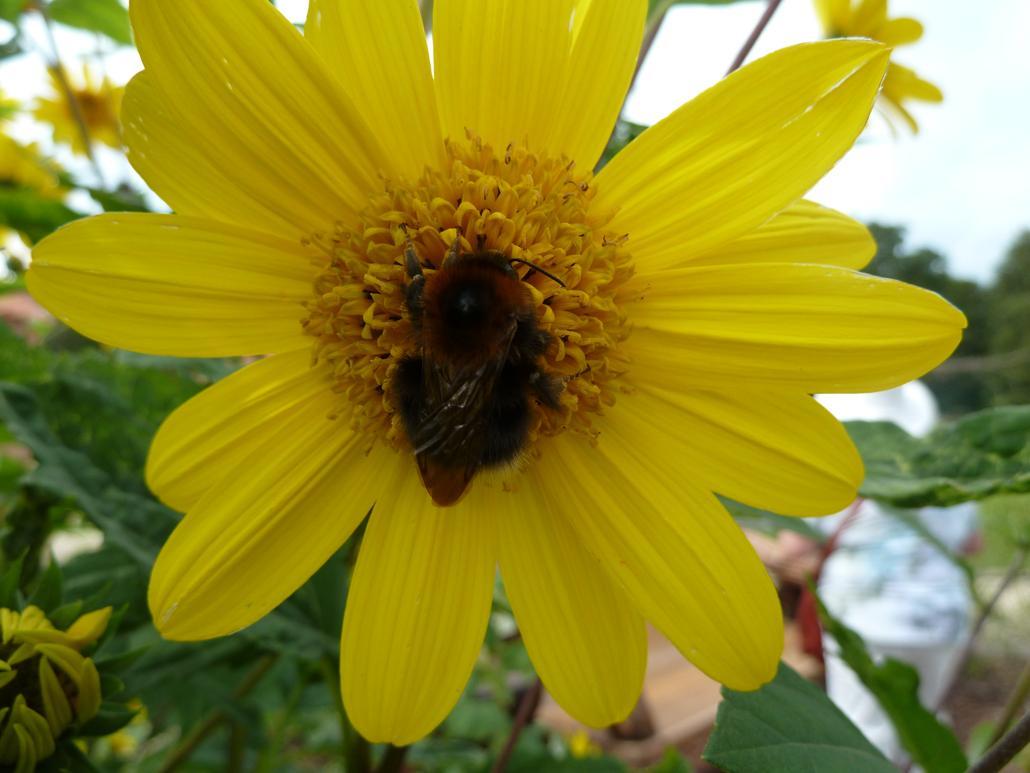 Baumhummelkönigin in Sonnenblume