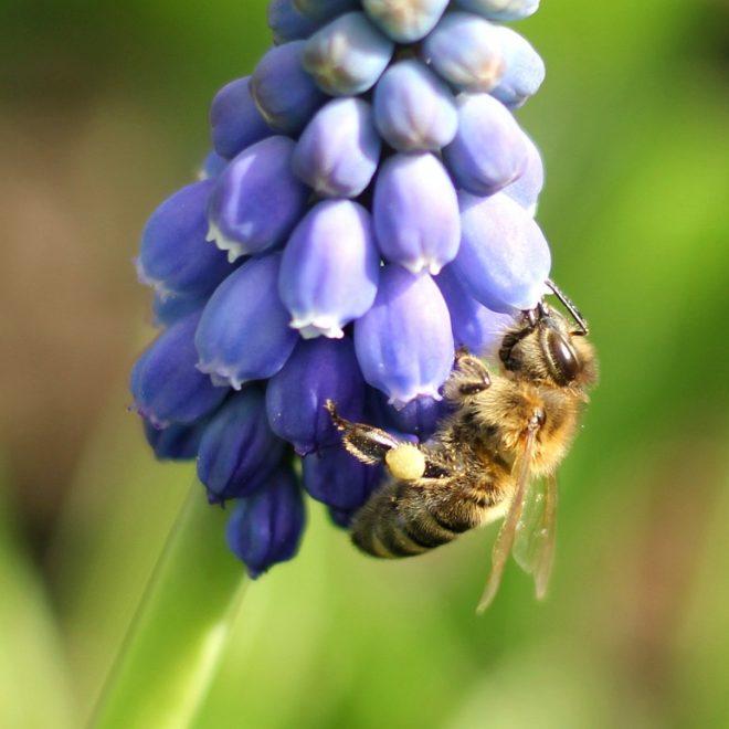 Honigbiene an Perlhyazinthe (Muscari)