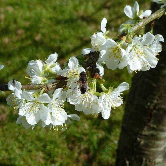 Schwebfliege in Pflaumenblüte (Prunus cerasifera)