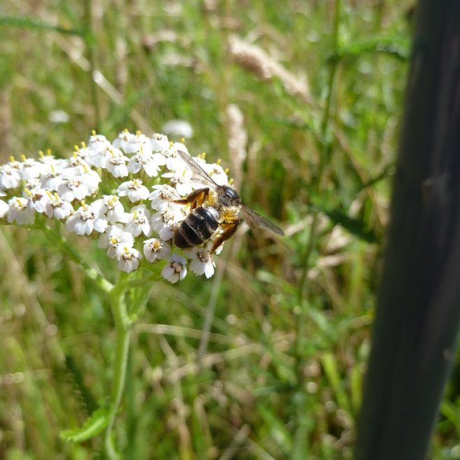 Wildbiene auf weißer Schafgarbe (Achillea millefolium)