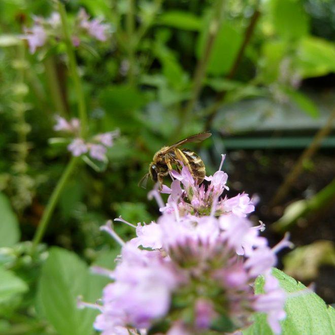 Wildbiene in Thymianblüte (Thymus)