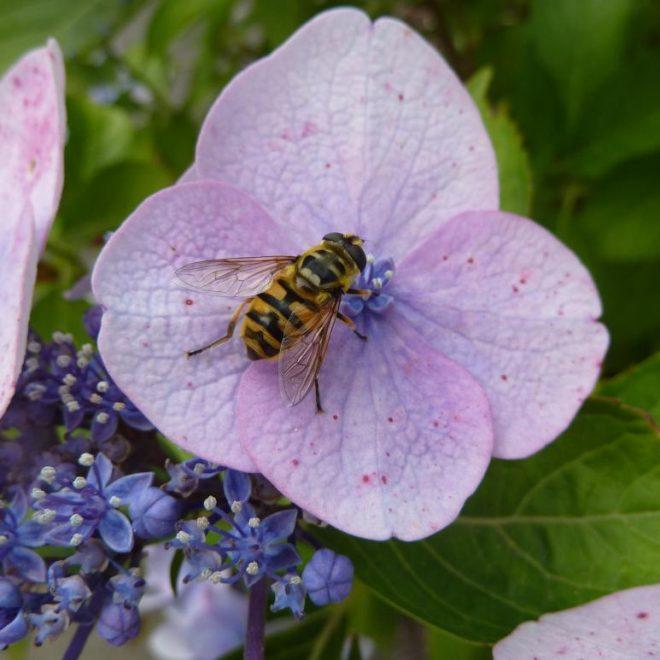 Totenkopfschwebfliege auf Hortensie (Myathropa florea)