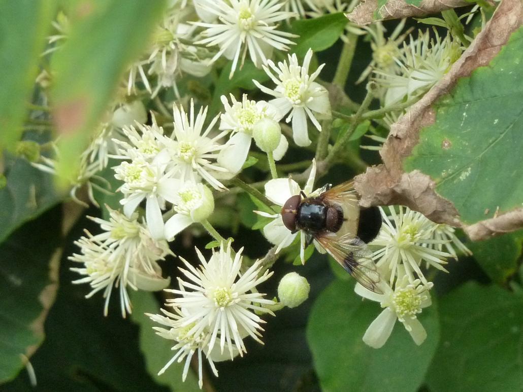 Waldschwebfliege (Volucella pellucens)