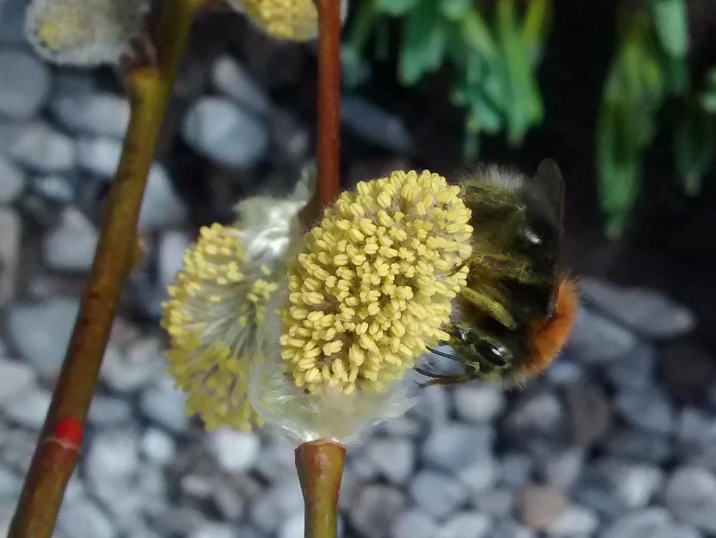 Hummel auf Weide (Salix caprea)