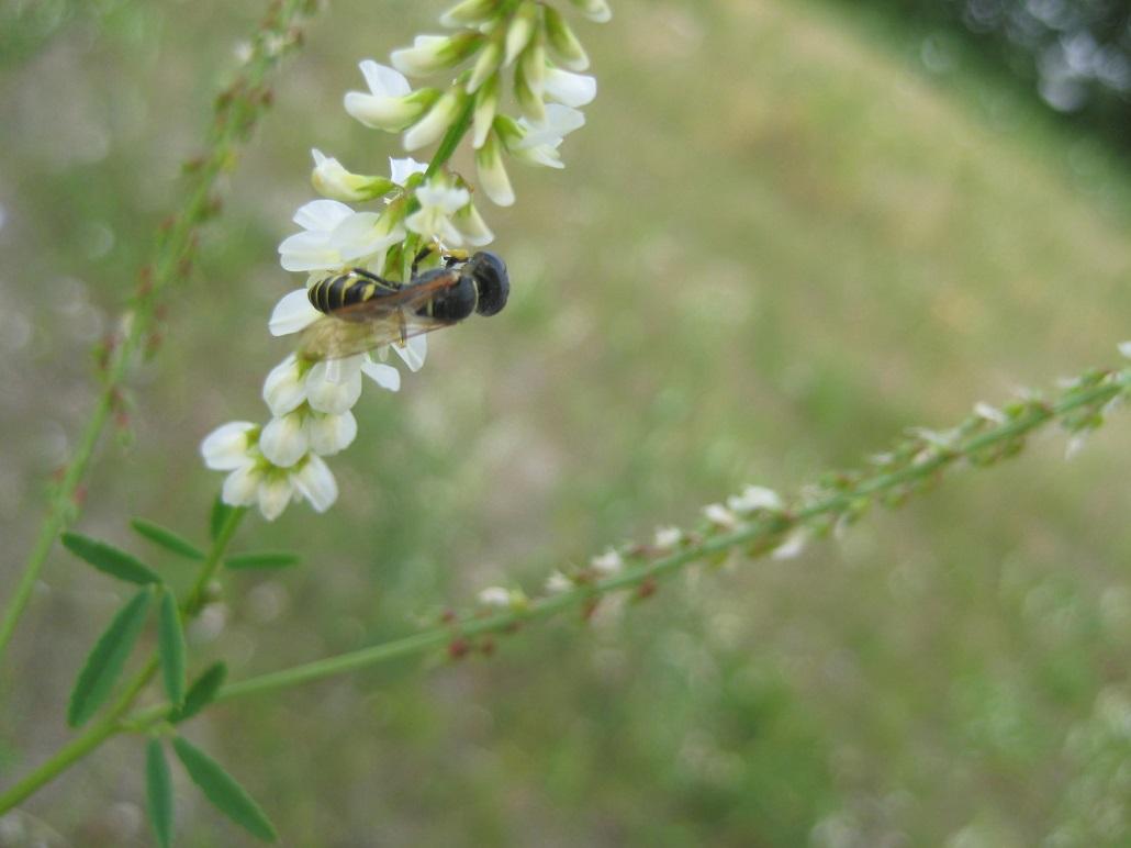 Schenkelbiene auf weißem Steinklee (Melilotus albus)