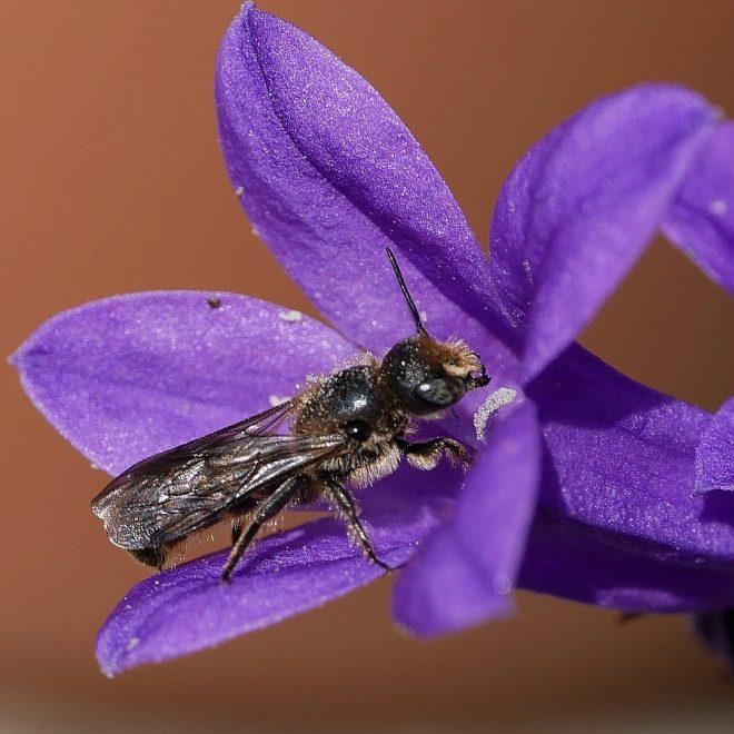 Glockenblumen-Scherenbiene in Campanula-Blüte